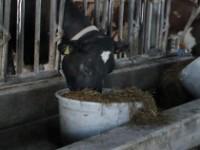 3. Lisdoddekuil in rantsoen droge koeien
